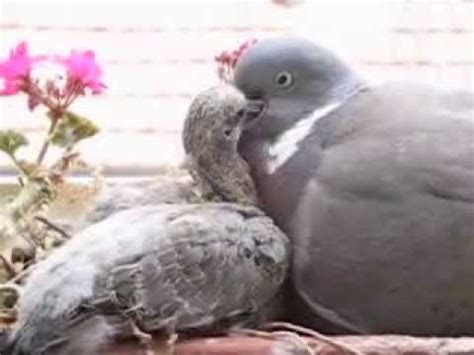 Pigeon Empeng Empeng Baby Pigeon wood pigeon feeds his 11 day baby squab constant feeds