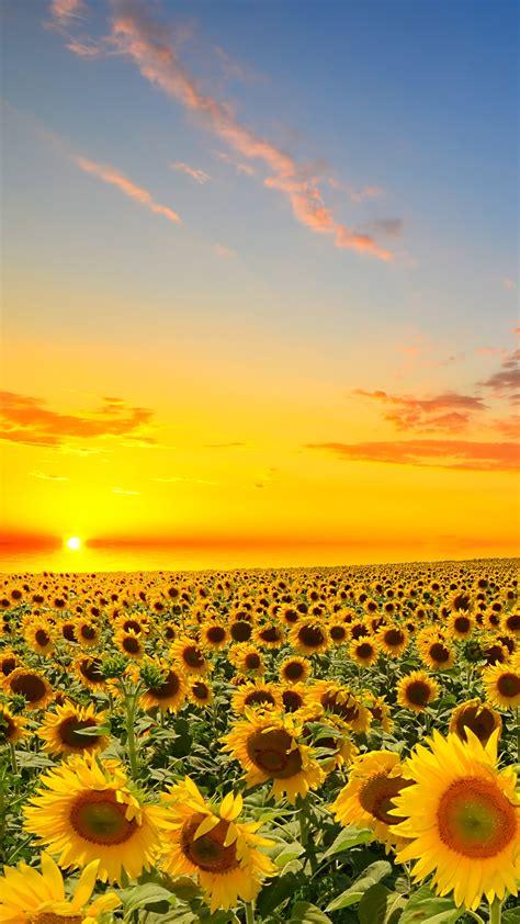 wallpaper for iphone sunflower sunflower wallpaper iphone 6 wallpaper sportstle