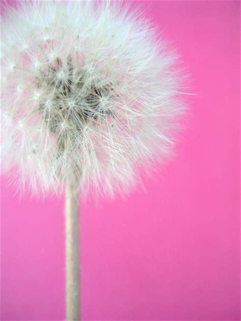 Qw Wallpaper Dandelion Pink dina amgad dandoo20