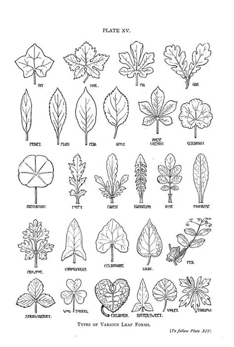 pattern name and classification botanical leaf shapes trees pinterest nature