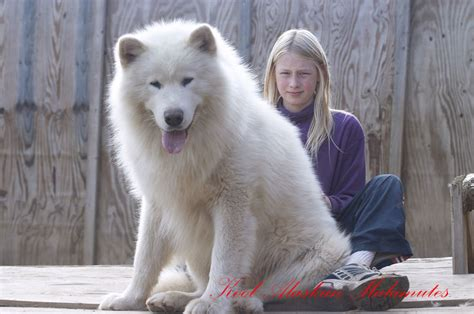 Average Couch Height all white alaskan malamute 14 cool wallpaper