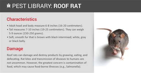 new year rat traits roof rat prevention copesan pest library