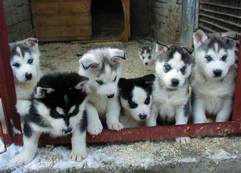 husky puppies for sale washington charming siberian husky puppies for sale parkland wa asnclassifieds