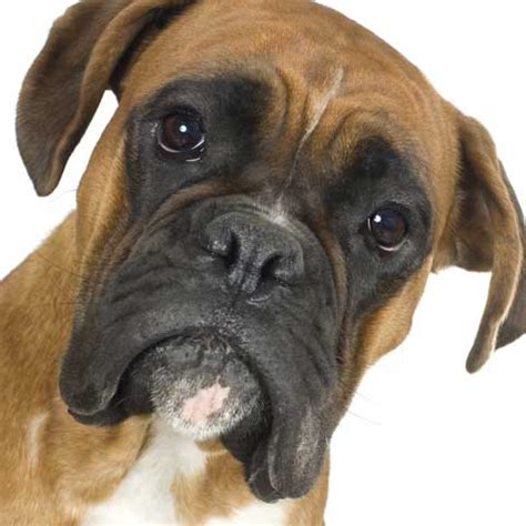 boxer puppies boxer vetwest animal hospitals