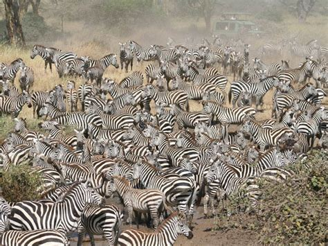 zebra migration pattern the most amazing natural events on earth