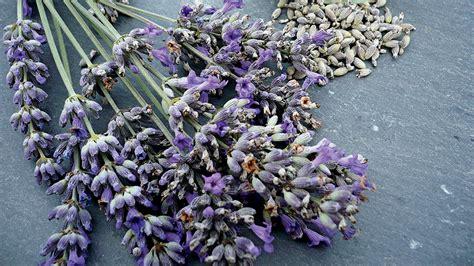 wann und wie schneidet lavendel wann schneidet lavendel und ziemlich der lavendel im