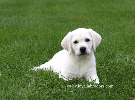 white lab puppies colorado white lab puppies in minnesota