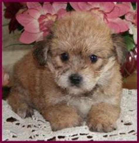 yorkie chon adults bichon frise puppies in new jersey for sale breeds picture