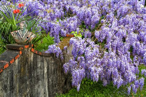 wisteria meaning the meaning of flowers schweitzerlinen
