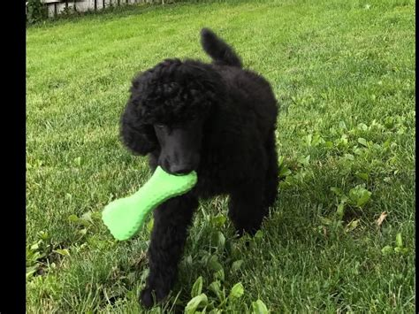 lifespan of standard poodle pitbull dachshund mix for sale in pittsburgh breeds
