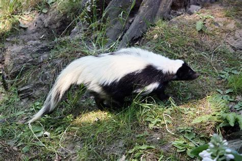 how to get skunk out of fur 5 types of skunks you didn t existed mnn nature network