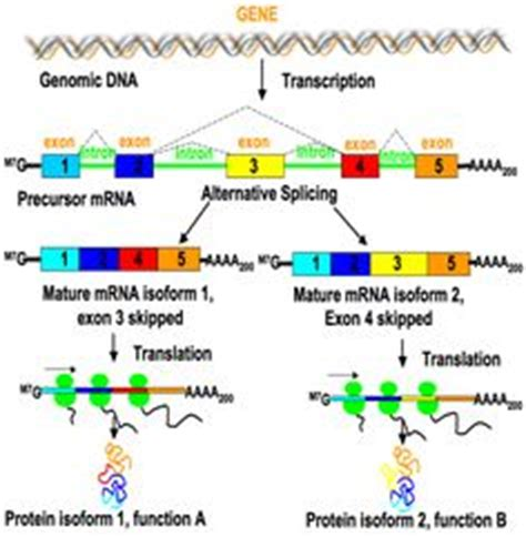 explain how dna serves as its own template during replication protein synthesis dna not only serves as a template for