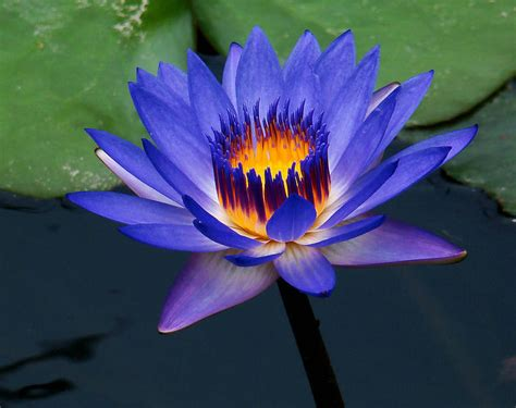 lotus flower growing blue lotus flower seed water seeds for growing buy