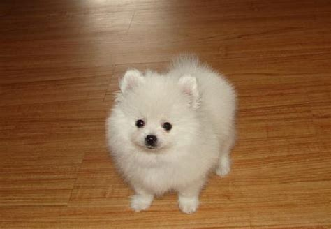 small white pomeranian puppies hoobly pomeranian puppies white color small akc breeds picture