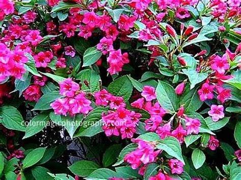 florida flowering shrubs bushes flowering weigela florida bush colorful shrubs