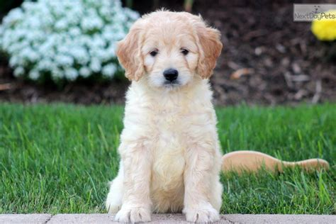 goldendoodle puppy free goldendoodle puppy for sale near lancaster pennsylvania