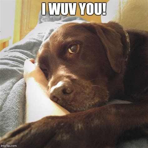 Labrador Meme - chocolate lab meme site unavailable the dog ate your