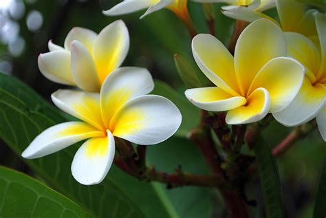 Fragrant Plants Florida - perfume shrine frequent questions differences between plumeria frangipani jasmine