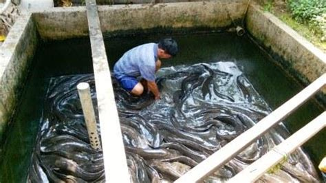 Benih Lele Hari Ini daftar pembeli dan penjual ikan lele terbaru hari ini