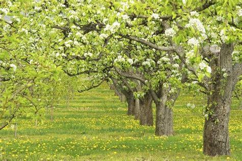 fiori alberi da frutto alberi da frutto alberi da frutto coltivare albero frutto