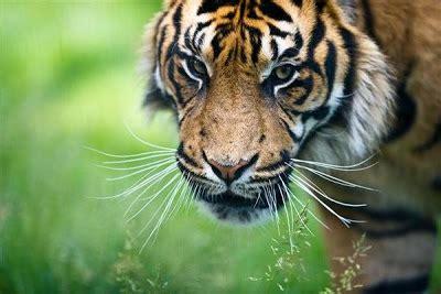 gambar harimau sumatra gambar pemandangan