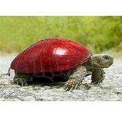 Apple Turtle In The Asian Culture Turtles Are Believed To