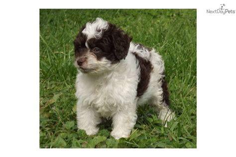 mini aussiedoodle rescue aussiedoodle puppy for sale near altoona johnstown