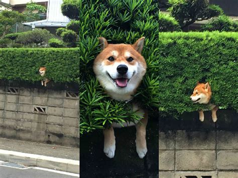 dogs getting stuck gets stuck in a bush and pretends not to care