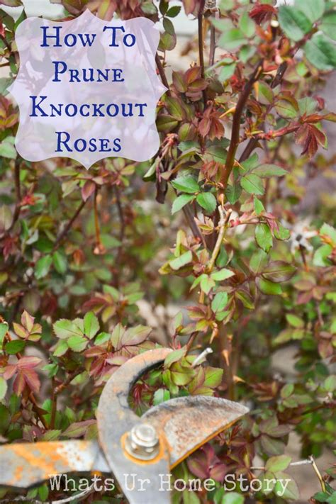 how to prune knockout roses gardening info pinterest