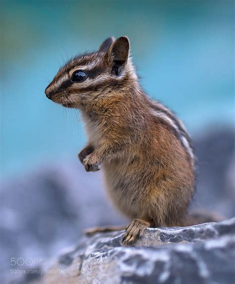 Kia Soul Chipmunks 17 Best Ideas About Baby Chipmunk On Adorable