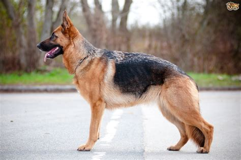 where to get a german shepherd puppy some informative facts about the german shepherd pets4homes