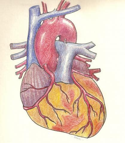 what color are arteries anterior view of coronary arteries color guru