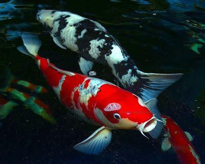 Cacing Untuk Ikan Koi jenis ikan hias paling cantik top 10 akuarium ikan hias