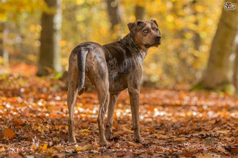 catahoula breed all about the catahoula leopard breed pets4homes