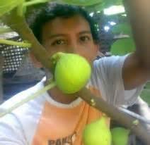 Bibit Buah Tin Kediri jual bibit buah tin kediri tin zaitun jual bibit pohon