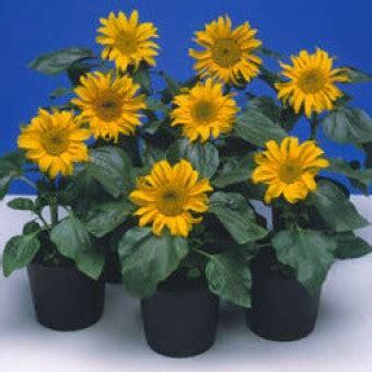 Harga Benih Biji Bunga Matahari bibit bunga matahari kerdil