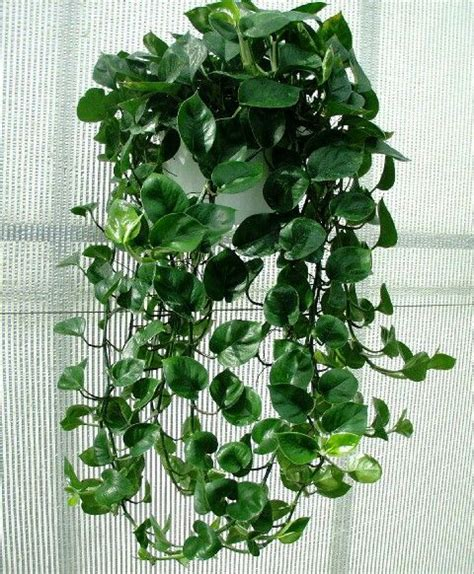 cascading indoor plants epipremnum aureum it is commonly used as a vining ground