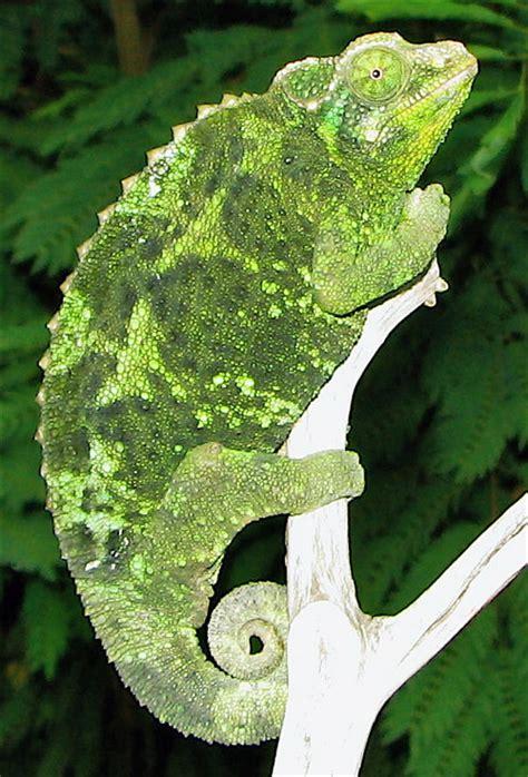 jackson s chameleon care sheet