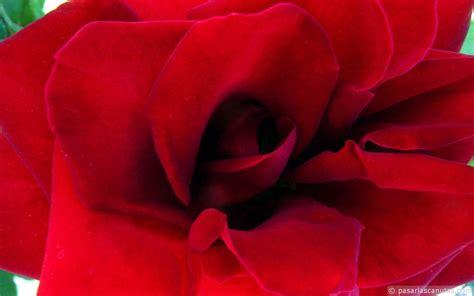 imagenes de rosas jpg imagenes bonitas con flores y plantas 3 170 parte cerrado