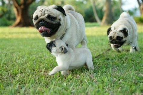 pug family pug family pugs