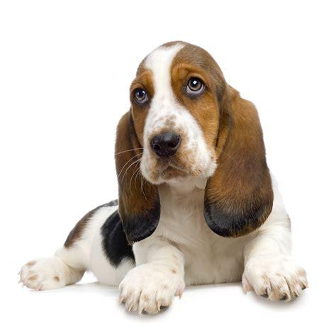 Basset Hound Puppy Pictures InformationCorgi Puppy Pictures