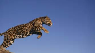 Fast Can Jaguar Run Jaguar Running Hd