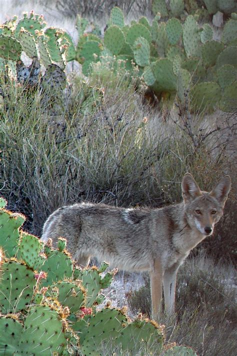 coyote in my backyard 38 best images about coyotes on pinterest backyards