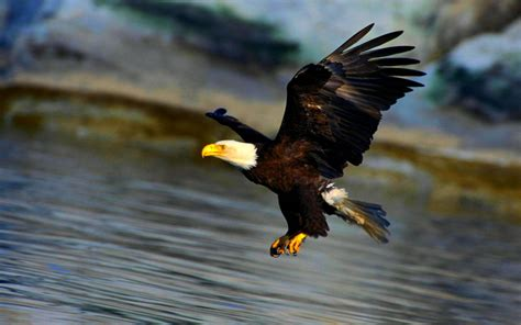 Águila en pleno vuelo 1680x1050 HD   FondosWiki.com