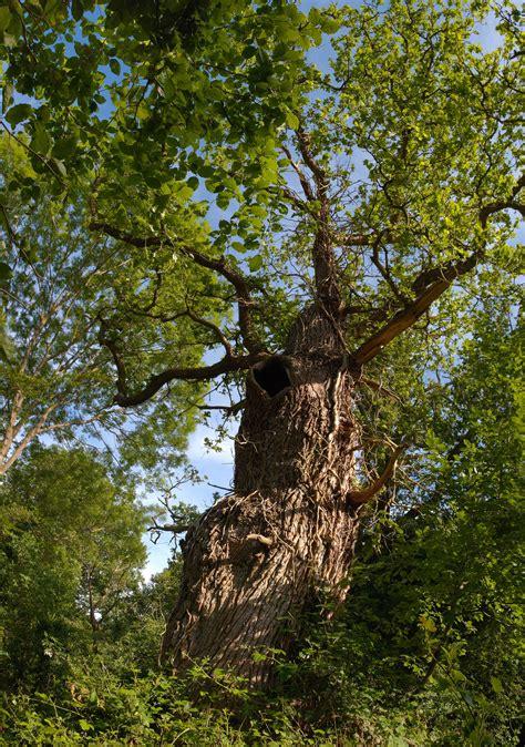 woodland tree gnarled oak tree at burnham beeches ancient woodland