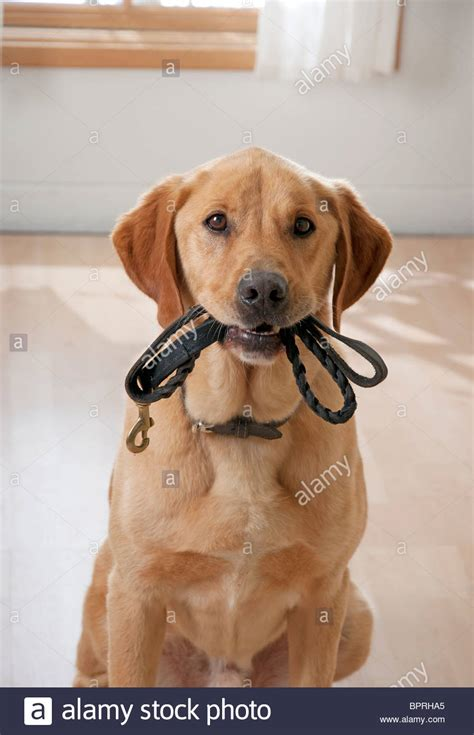 how to your to go leash how to your to walk on a leash golden retriever breeds picture