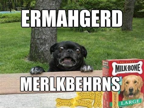 ermahgerd pug ermahgerd your meme