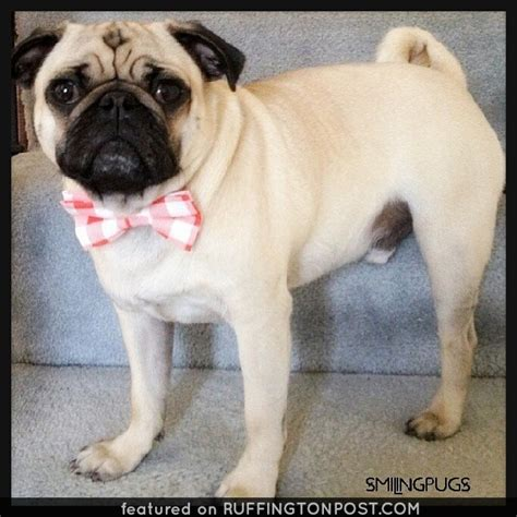 pug in a bow tie every pug gentleman looks sharp in a bow tie ruffington post