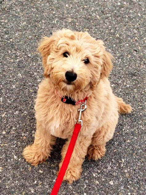 goldendoodle or golden retriever 25 best ideas about golden doodle mini on miniature golden doodles