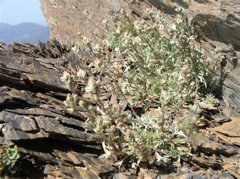 fiore artemisia genepi delle alpi piemontese la pianta la preparazione e